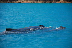 Um par de baleias de Humpback, Austrália Imagens de Stock
