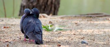 Um par de beijar pombas Fotos de Stock Royalty Free