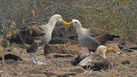 Um par de bicos acenados da torneira do albatroz em um ritual de acoplamento nas Ilhas Galápagos video estoque