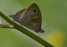 Um par de borboletas Imagens de Stock Royalty Free