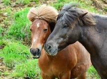Um par de cavalos islandêses pela estrada Fotografia de Stock Royalty Free