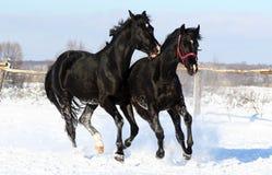Um par de cavalos pretos Fotografia de Stock