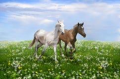 Um par de cavalos que correm no bloss Imagens de Stock