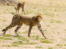 Um par de chitas fotografou no parque nacional internacional de Kgalagadi entre África do Sul, Namíbia, e Botswana Imagens de Stock Royalty Free