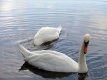 Um par de cisnes Fotos de Stock Royalty Free