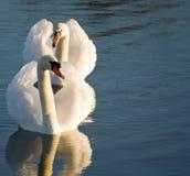 Um par de cisnes Imagens de Stock
