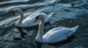Um par de cisnes Fotografia de Stock