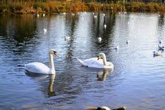 Um par de cisnes acopladas e de outros pássaros de água imagem de stock royalty free