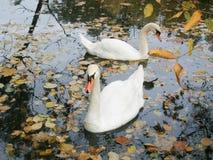 um par de cisnes graciosas Fotos de Stock