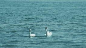 Um par de cisnes nada próximos um do outro filme