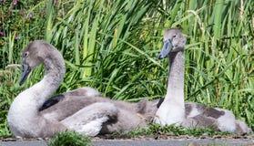 Um par de cisnes novos fotografia de stock royalty free