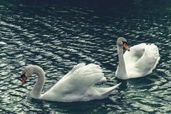 Um par de cisnes para uma aposta fotos de stock