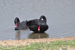 Um par de cisnes pretas Fotos de Stock Royalty Free