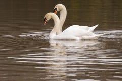 Um par de cisnes que nadam junto na lagoa decorativa Fotos de Stock Royalty Free
