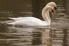 Um par de cisnes que nadam junto na lagoa decorativa Fotografia de Stock Royalty Free
