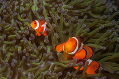 Um par de clownfish falsos na anêmona de mar nas Filipinas Fotos de Stock