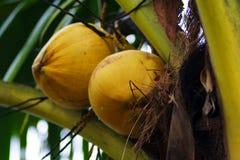Um par de coco na árvore Fotografia de Stock