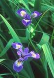 Um par de ` da bandeira azul do ` torna iridescente o ` s na flor Imagens de Stock
