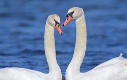 Um par de fim da cisne acima da vista fotos de stock royalty free