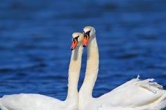 Um par de fim da cisne acima da vista imagens de stock