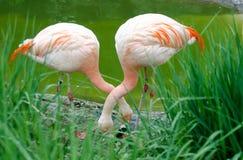 Um par de flamingos - família Phoenicopteriformes Imagens de Stock Royalty Free