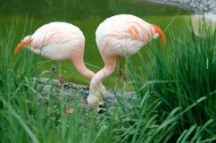 Um par de flamingos - família Phoenicopteriformes Fotos de Stock Royalty Free