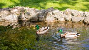 Um par de flutuadores dos patos em uma lagoa em um dia ensolarado foto de stock