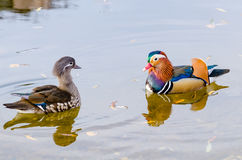 Um par de galericulata do aix dos patos de mandarino Imagens de Stock