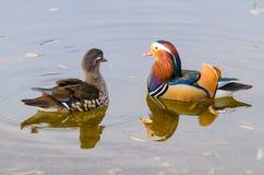 Um par de galericulata do aix dos patos de mandarino Imagem de Stock Royalty Free