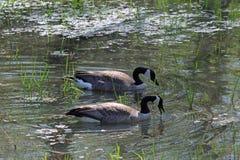 Um par de gansos canadenses Foto de Stock Royalty Free