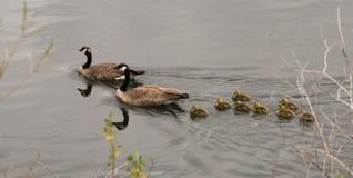 Um par de gansos canadenses com seus ganso para fora para uma nadada Fotografia de Stock Royalty Free
