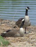 Um par de gansos canadenses em repouso Foto de Stock Royalty Free