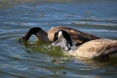 Um par de gansos canadenses que lavam e que enfeitam-se na água Fotos de Stock Royalty Free