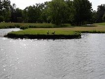 Um par de gansos que tomam uma caminhada no parque fotos de stock royalty free