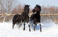 Um par de garanhão preto Imagens de Stock