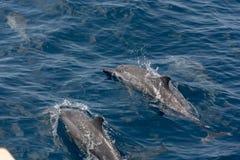 Um par de golfinhos fotografia de stock