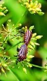 Um par de insetos vermelhos Foto de Stock