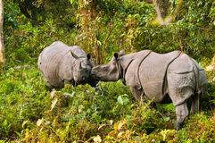 Luta do rinoceronte Imagens de Stock