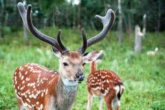 Um par de jovens manchou cervos em uma floresta verde uma dos cervos Imagem de Stock