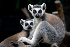 Um par de lêmures em um jardim zoológico imagem de stock