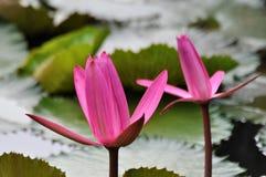 Um par de lírio de água cor-de-rosa Fotos de Stock Royalty Free