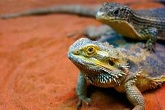Um par de lagartos fotos de stock royalty free