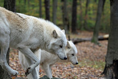 Um par de lobos Imagens de Stock