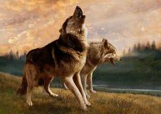 Um par de lobos inspeciona suas possessões Fotografia de Stock Royalty Free