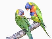 Um par de lorikeets do arco-íris Imagens de Stock