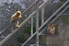 Um par de macaco gibraltar Fotografia de Stock