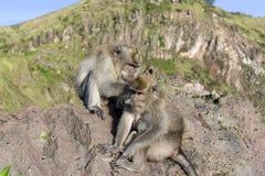 Um par de macacos na natureza aberta, ocupa-se de Em Vulcan Batur Bali A altura de 2000 medidores acima do nível do mar E Fotografia de Stock