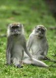 Um par de macacos selvagens fotografia de stock