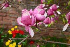 Um par de magnólia floresce em um ramo que cresce perto da parede de pedra acima do canteiro de flores no jardim da cidade Fotografia de Stock Royalty Free