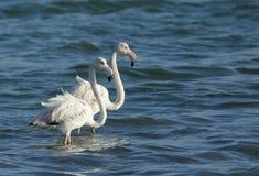 Um par de maiores flamingos bonitos, Barém Foto de Stock Royalty Free